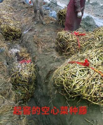四川省成都市新都区水上空心菜 40 ~ 45cm