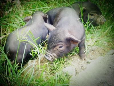 这是一张关于环江香猪 20-40斤 的产品图片