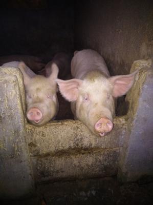 湖北省黄冈市浠水县土猪肉  生肉 整头或零售