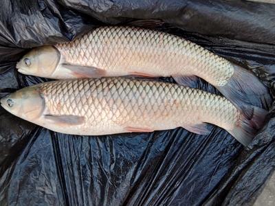 这是一张关于野生草鱼 野生 1.5-3.5公斤 的产品图片