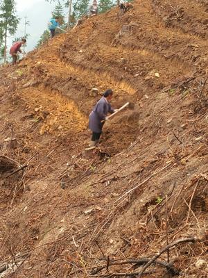 这是一张关于人工种植葛根 2.5-3.0斤 的产品图片