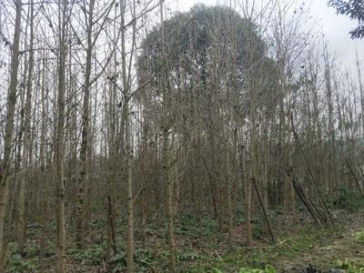 这是一张关于白果树 的产品图片