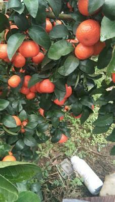 广西壮族自治区桂林市永福县沙糖桔 统货 3两以上