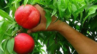 这是一张关于中油18油桃 1~1.5米 的产品图片