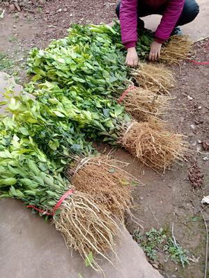 这是一张关于椪柑苗 嫁接苗 0.35~0.5米 的产品图片