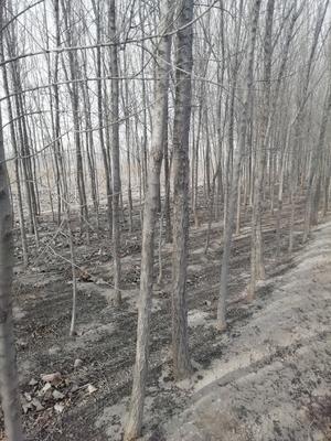 这是一张关于小叶榆树 的产品图片