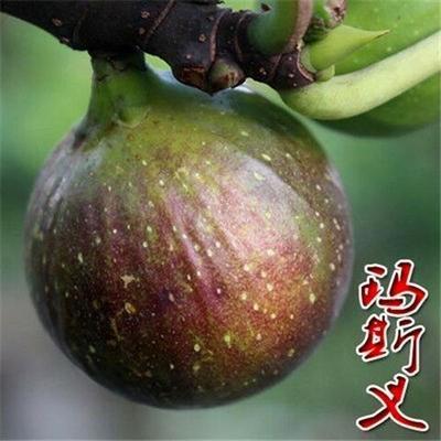这是一张关于波姬红无花果苗 的产品图片