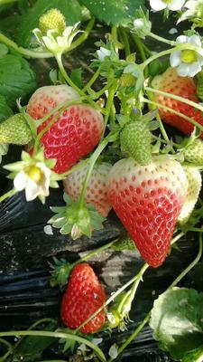山东省临沂市兰山区妙香草莓 20克以上