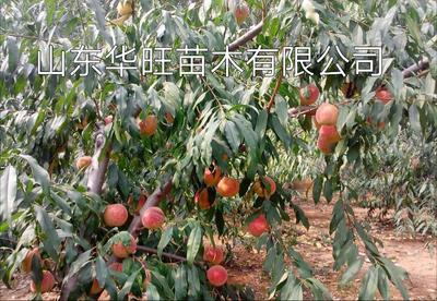 这是一张关于冬桃王 1~1.5米 的产品图片