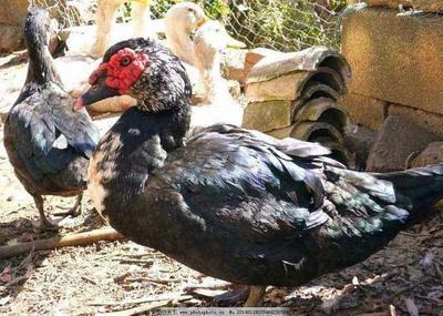 这是一张关于火鸭  4-5斤 统货 全散养 亏本出售火鸭的产品图片