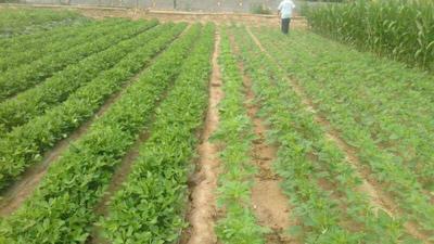 这是一张关于美冠油麦菜 35~40cm 的产品图片