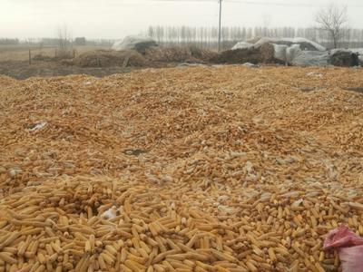 黑龙江省绥化市明水县玉米湿粮 杂质很少 水份20%-30%