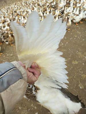 江西省九江市永修县花边鸭 4-5斤 统货 半圈养半散养