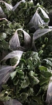陕西省西安市户县黑叶菠菜 40cm以上