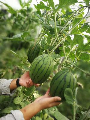 山东省聊城市阳谷县8424西瓜 3斤打底 9成熟 1茬 有籽