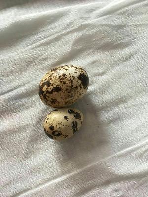 河南省商丘市梁园区黄羽鹌鹑蛋 食用 散装