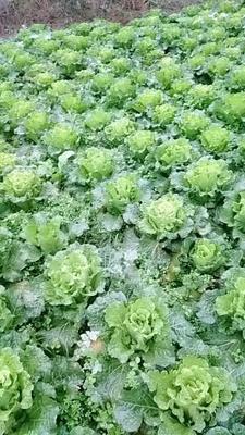 贵州省贵阳市清镇市麻叶青白菜 2~3斤 净菜