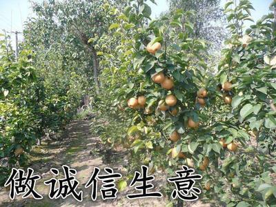 这是一张关于黄金梨树苗 1.5~2米 的产品图片