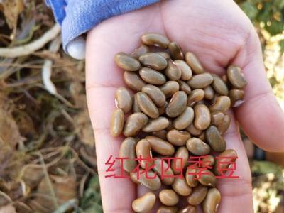 这是一张关于四季豆种子 的产品图片