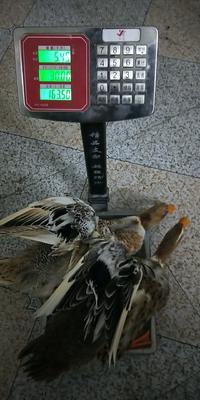 广西壮族自治区河池市东兰县水鸭 5-6斤 统货 全散养