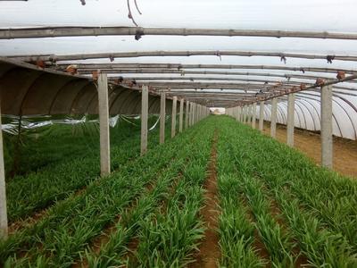 山东省烟台市牟平区紫根韭菜 头茬 20cm以下