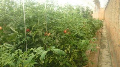 这是一张关于津南冬芹 50~55cm 1.0~1.5斤 大棚种植 的产品图片