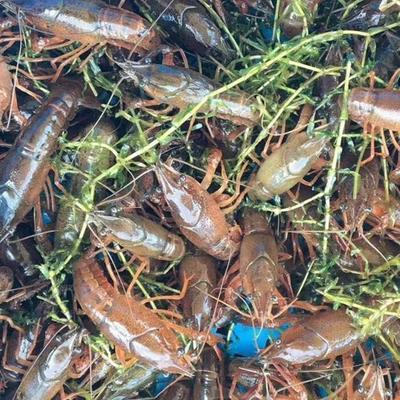 这是一张关于小龙虾苗  塘口龙虾苗 送货到家的产品图片