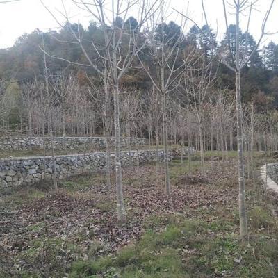 陕西省汉中市南郑县七叶树