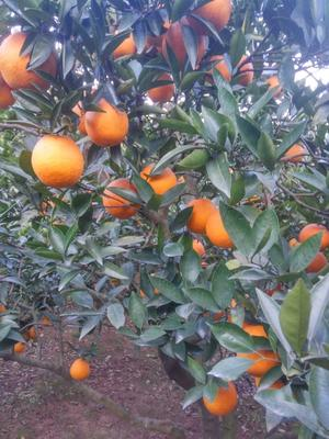 这是一张关于金堂脐橙 65 - 70mm 4-8两 的产品图片