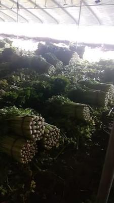 天津静海县法国皇后芹菜 45~50cm 0.5~1.0斤 大棚种植
