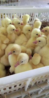这是一张关于大白沙鹅苗 的产品图片