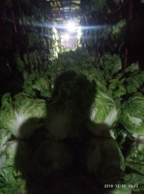 河北省邯郸市曲周县东京868 6~10斤 净菜