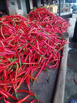 这是一张关于线椒 15~20cm 中辣 红色 的产品图片