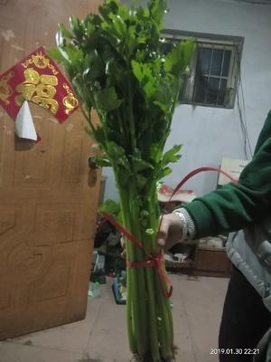 山东省潍坊市高密市法国皇后芹菜 60cm以上 0.5斤以下 大棚种植