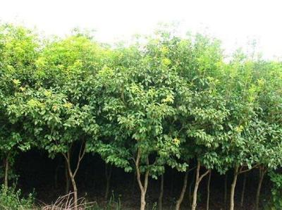 这是一张关于天竺桂 的产品图片
