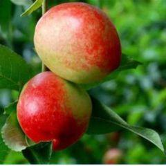 这是一张关于中油4号桃树苗 0.5~1米 的产品图片