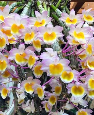 这是一张关于 玫瑰石斛盆栽 的产品图片