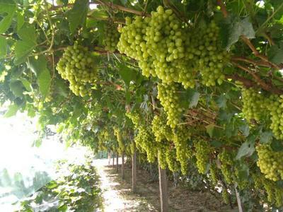 新疆维吾尔自治区哈密地区哈密市无核白葡萄 1-1.5斤 5%以下 1次果