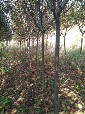 山东省潍坊市诸城市日本红叶樱花 3~3.5米 4~6公分