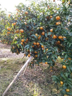 广西壮族自治区柳州市鹿寨县青皮蜜桔 3 - 3.5cm 1 - 1.5两