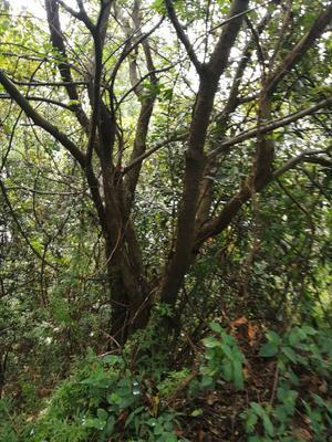贵州省黔东南苗族侗族自治州从江县丛生朴树