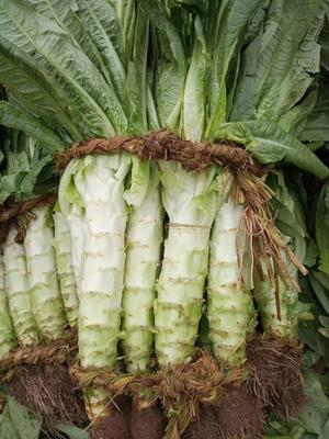 山东省泰安市新泰市青皮尖叶莴苣 2斤以上 50-60cm