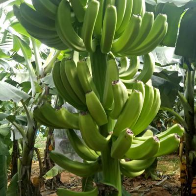 海南省海南省昌江黎族自治县巴西香蕉 八成熟