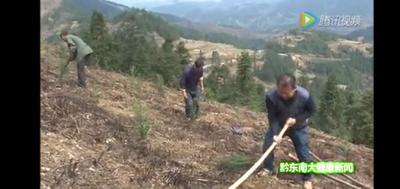 贵州省黔东南苗族侗族自治州雷山县南方红豆杉 1~1.5米