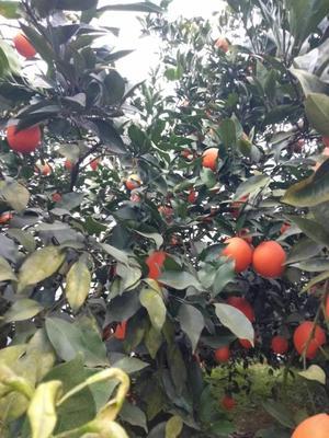 四川省眉山市东坡区纽荷尔脐橙 70-75mm 4-8两