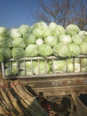 山东省聊城市东昌府区北京3号大白菜 6~10斤 净菜