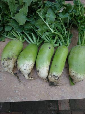 山西省运城市万荣县791罐萝卜 2~2.5斤