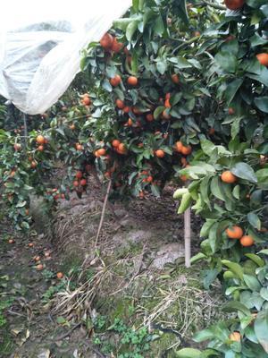 广西壮族自治区桂林市兴安县沙糖桔 4 - 4.5cm 1两以下