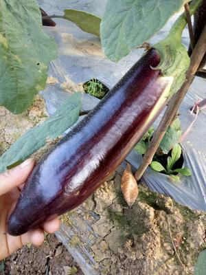 云南省西双版纳傣族自治州景洪市冰川茄 20~30cm 长茄