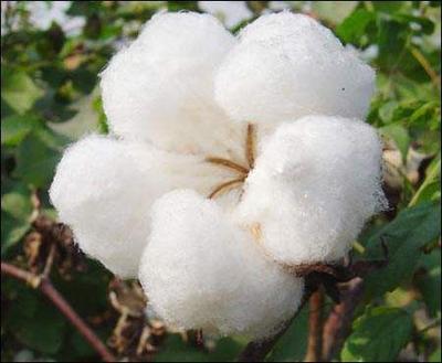 新疆维吾尔自治区石河子市石河子市新疆棉花 新疆长绒棉